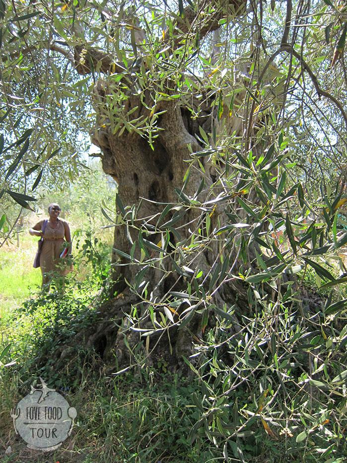 ต้นมะกอก อายุ 150 ปี